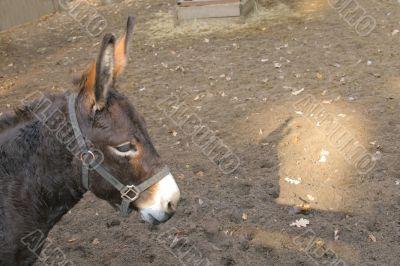 Donkey`s head