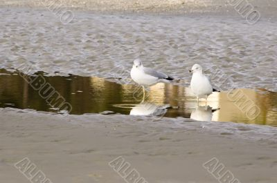 Two seagulls reflected in puddle