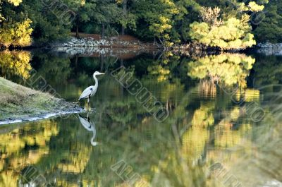 Great Blue Heron and Fall Reflections