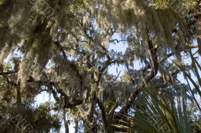Spanish moss hanging from tree