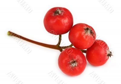extreme macro of rowan berries