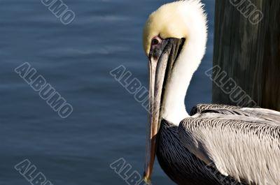 Horizontal Portrait of Brown Pelican
