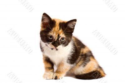 Sadness kitten sits
