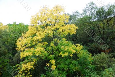 First yellow tree of autumn