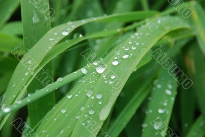 Grass with drops of a rain