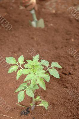 Gardener planting seedlings