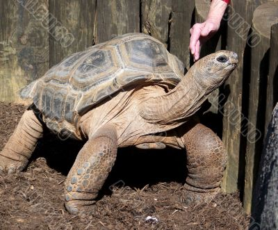 Woman Petting Giant Tortoise