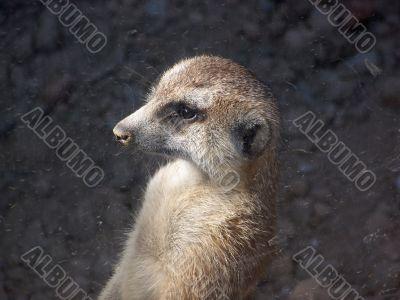 Meerkat Looking Out Window