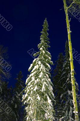 snow-bound fir-trees