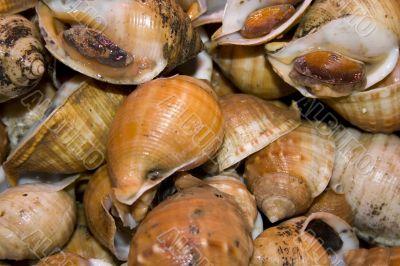 Shellfish snails