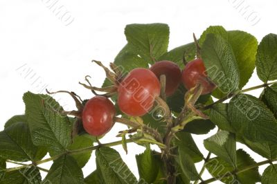 wild rose fruit