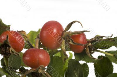 wild rose fruit