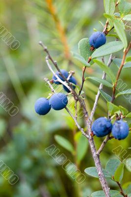 bush of blueberries