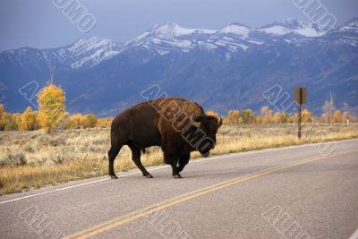 Single bull bison walking