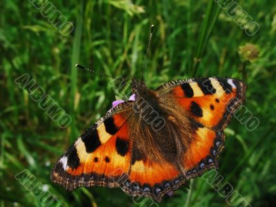orange butterfly and green grass