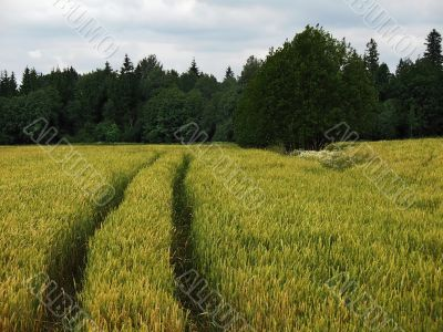 cereal field and tractor road