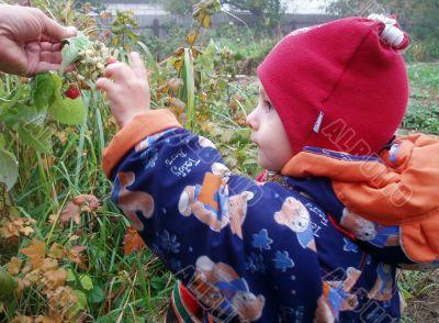 Boy picking a berry