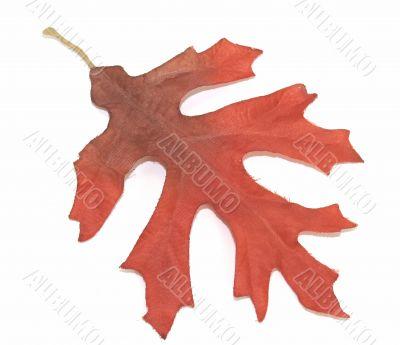 Red Autumn Oak Leaf Over White