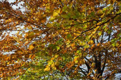 beech foliage