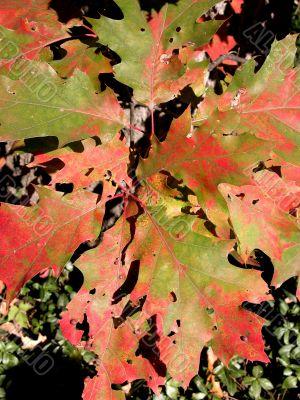 Cluster of Autumn Oak Leaves