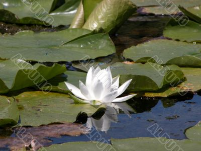 Lily Pad with White Flower