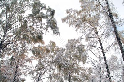 Snow-covered crowns
