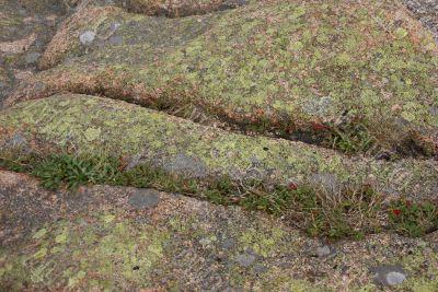 Lichen & moss on pink granite