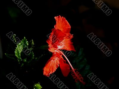 Red Jaswant- Hibiscus