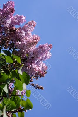 Blossoming lilac and blue sky