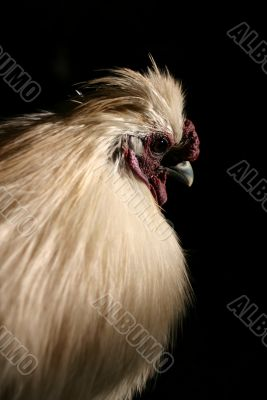 Close up rooster