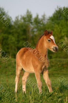 Brown welsh pony foal