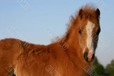 chestnut welsh foal