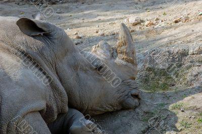 resting rhino