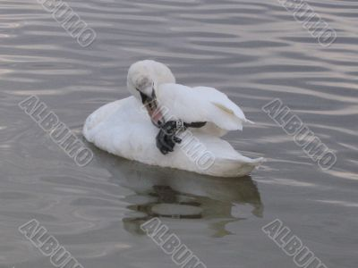 a swan trying to get off a metallic ring from its foot