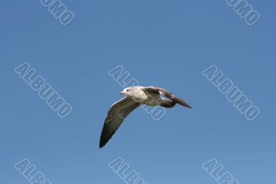 seagull in midflight