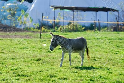 A donkey in the Monza Park