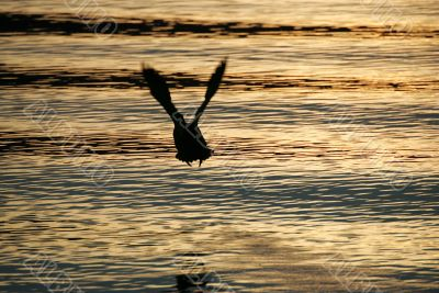 A duck in take-off from Lake Wanaka