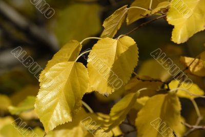 yellow mulberry leafs, autumn