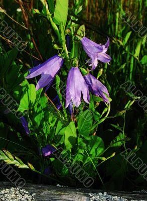 lilac campanulas