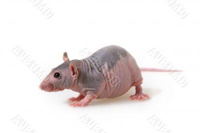Naked rat