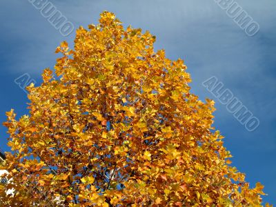 yellow tree in fall season