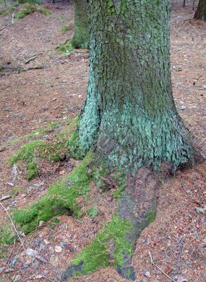 Moss-covered roots of the tree