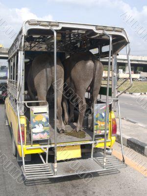 Buffalo transport