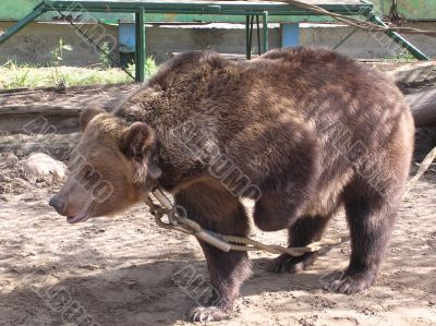 Tied to Bear