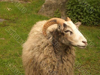 Ram in a green field
