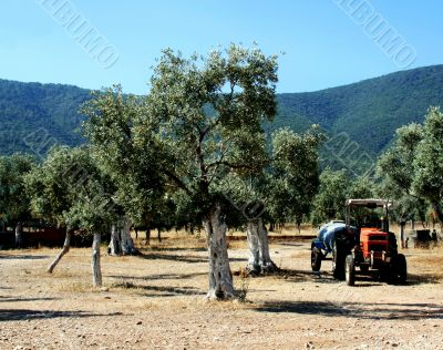 Olive grove and tractor
