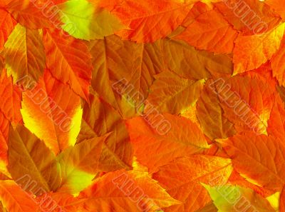 Fall leaves. Vibrant natural texture