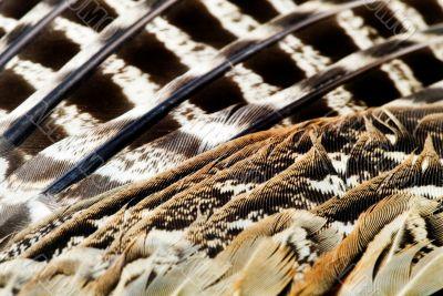 phesant`s feather