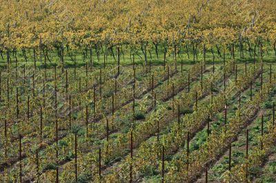 Autumnal vineyard geometry