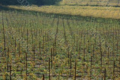 Autumnal vineyard geometry 2